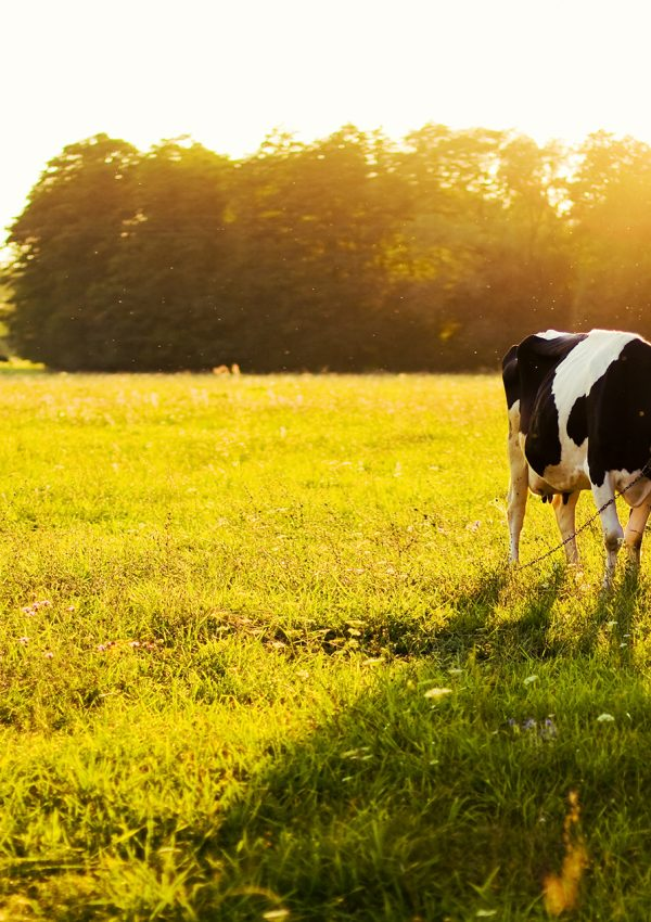 Vaca malhada no campo